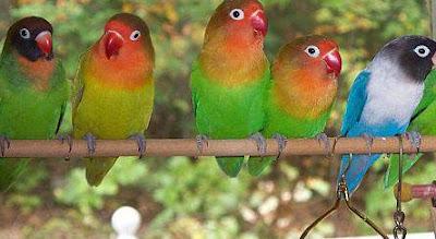 Pakan Wajib Burung Love Bird