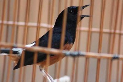 Manpaat Dan Harga Terbaru Obat Burung Berak Darah Saat Ini Paling Lengkap
