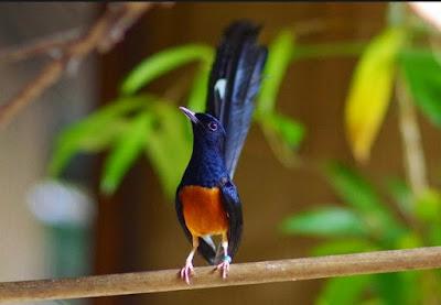 Manpaat Dan Harga Terbaru Vitamin Untuk Meningkatkan Stamina Burung Kicau Pada Saat Lomba