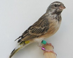 Harga Vitamin Dan Pakan Tambahan Untuk Burung Blackthroat Agar Cepat Gacor Setiap Hari