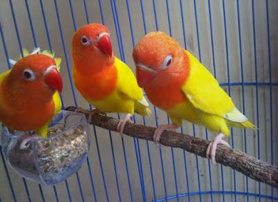 Harga Dan Manpaat Obat Untuk Mengatasi Masalah Pada Burung Lovebird Terbaru/Terlengkap