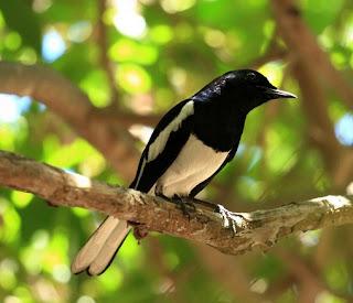 Harga Terbaru Pakan Voer Burung Kacer Saat Ini Paling Lengkap