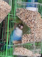 Tempat Pakan Burung Lovebird