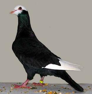 Harga Terbaru Ring Untuk Burung Merpati Saat Ini Dan Paling Lengkap