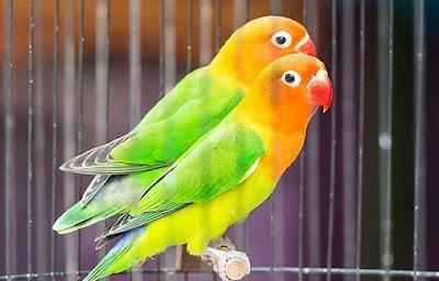3 Tips Settingan Tunggal Burung Lovebird Balibu/Paud Agar Ngekek Di Lapangan