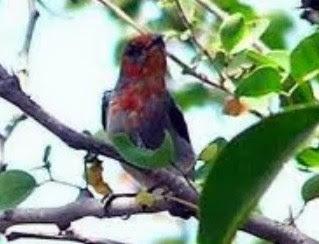 Tips Dan Cara Perawatan Burung Cabe/Kamade Bahan Terlengkap