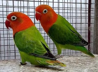 Asal Mula Jenis Dari Burung Lovebird Biola