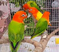 Mencetak Jenis Lovebird Biola Euwing 2