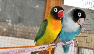 5 Tips Dan Cara Seting Lovebird Lomba Untulan Paud/Dewasa Terlengkap