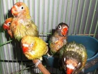 Jenis Burung Lovebird Yang Sering Juara Lomba Dan Juga Prospek