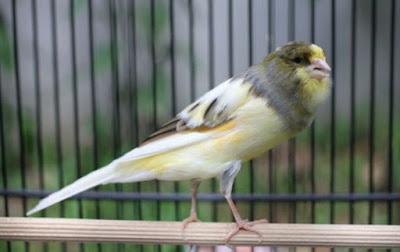 2 Rahasia Resep Pakan Racikan Burung Kenari Juara Agar Gacor Setiap Hari