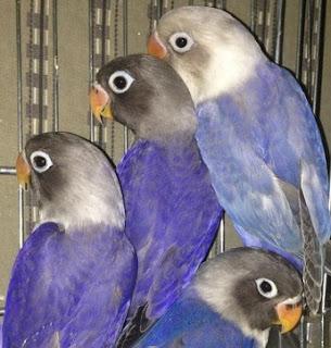 Cara Dan Tips Mudah Menghasilkan Anakan Burung Lovebird Violet Yang Paling Akurat