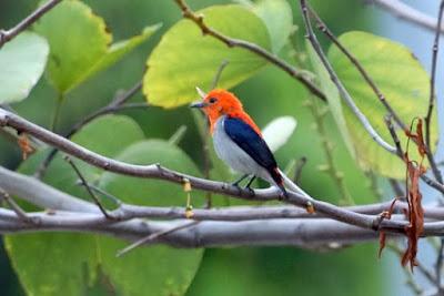 Cara Membedakan Burung Kemade Jantan Dan Betina Paling Akurat
