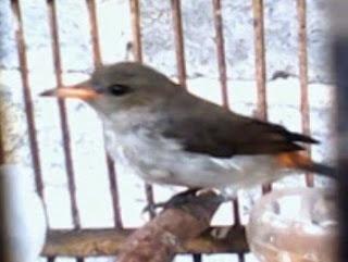 Burung Kemade Betina Muda