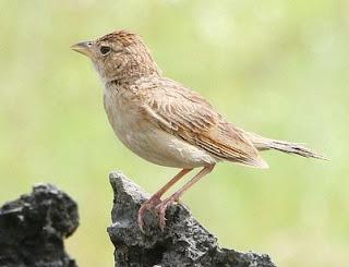 Mengetahui Ciri Ciri Fisik Burung Branjangan Jawa Timur Paling Lengkap