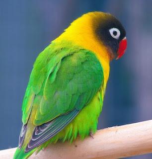 2 Tips Dan Cara Akurat Mengatasi Lovebird Mengembang Bulu Karena Sakit Paling Lengkap