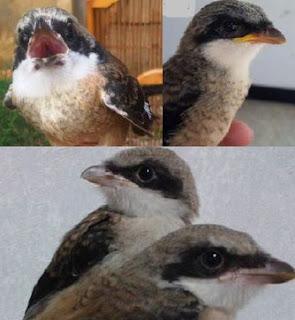 10 Tips Dan Cara Memilih Bakalan Burung Cendet Yang Prospek Paling Lengkap