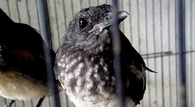 Perbedaan Burung Kacer Anakan Trotol Jantan Dan Betina Paling Akurat Dan Terlengkap