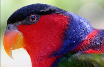 Tips Dan Cara Membedakan Burung Nuri Kepala Hitam Jantan Dan Betina Paling Akurat