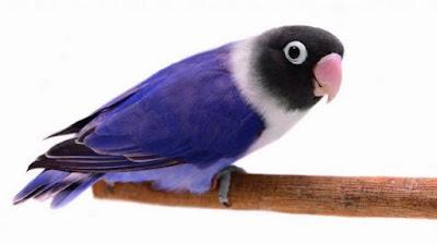 Ciri Ciri Dan Kisaran Harga Terbaru Lovebird Biru Mangsi Saat Ini Terbaru Di Tahun 2018 Terlengkap