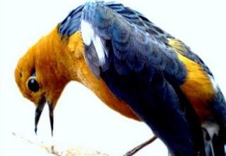 Cara Mengetahui Ciri Ciri Fisik Perbedaan Burung Anis Merah Dewasa Jantan Dan Betina Paling Akurat