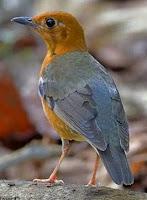Burung Anis Merah Dewasa Betina
