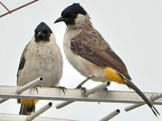 Tips Dan Cara Akurat Membedakan Burung Kutilang Jantan/Betina Paling Lengkap