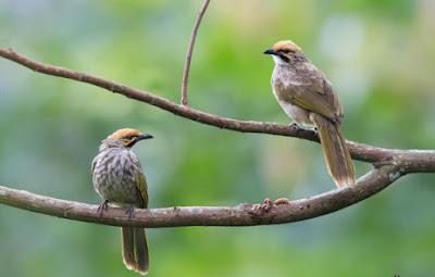 Jenis Jenis Burung Cucak Rowo Dan Cara Membedakannya Paling Akurat
