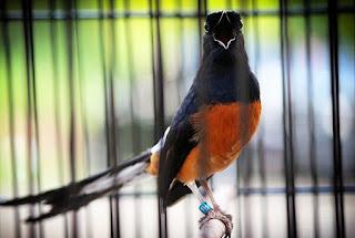Cara Perawatan Burung Murai Batu Harian Dan Lomba