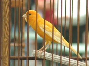 4 Cara Ampuh Mengatasi Burung Kenari Birahi Tinggi Pada Saat Lomba Yang Sudah Terbukti