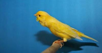 5 Cara Perawatan Akurat Agar Burung Kenari Gacor Siang Dan Malam