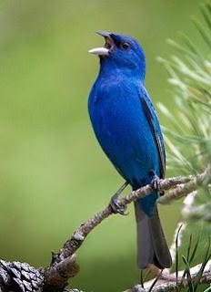 Mengenal Lebih Dekat Burung Kenari Biru Di Habitat Aslinya