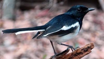 14 Tips Dan Cara Akurat Memilih Prospek Burung Kacer Ombyokan Fighter Suara Lantang