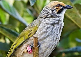 Jenis Burung Cucak Rowo Dari Aceh