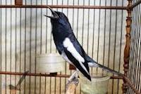 Di Karenakan Setingan Burung Kacer Belum Cocok Dan Pas