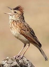 Kisaran Daftar Harga Terbaru Burung Branjangan Saat Ini Di Bulan Juni 2018 Terlengkap