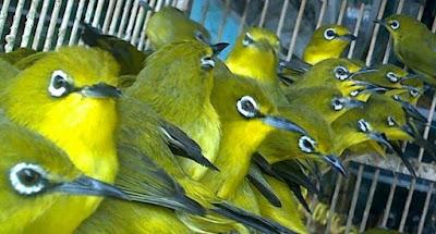Mengetahui Ciri Ciri Fisik Burung Pleci Jantan Muda Hasil Membeli Ombyokan Paling Akurat