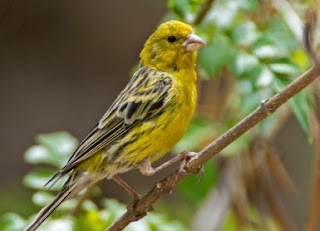 Tips Dan Cara Akurat Membedakan Burung Kenari Jantan/Betina Usia 4 Bulan Terlengkap