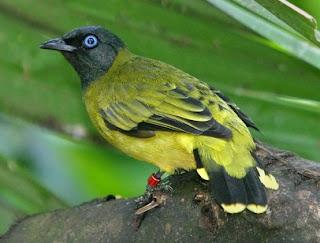 Tips Akurat Membedakan Burung Kurincang Jantan Dan Betina Paling Lengkap