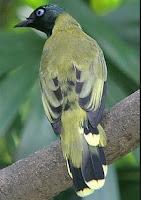 Burung Kurincang Betina