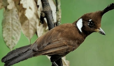 Ciri Ciri Dan Perbedaan Burung Cililin Jantan/Betina Paling Akurat