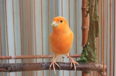 Tips Dan Cara Membedakan Burung Kenari Lokal Dengan Kenari Lokal Super Paling Akurat