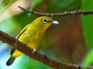 Mengetahui Dan Ciri Ciri Fisik Jenis Burung Pleci Lombok/Sumbawa Terlengkap