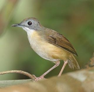 Mengenal Lebih Dekat Burung Pelanduk Semak Di Habitat Aslinya