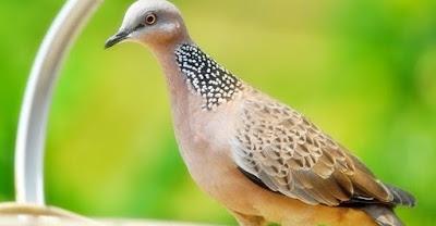 9 Perbedaan Fisik Burung Derkuku Jantan Dan Betina Paling Lengkap