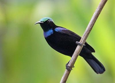 Mengenal Dekat Dan Ciri Ciri Fisik Burung Kolibri Black Sunbird Jantan Dan Betina Terlengkap