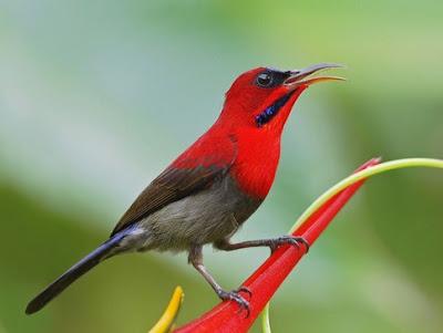 Mengetahui Lebih Dekat Ciri Ciri Fisik Burung Kolibri Sepah Raja Paling Lengkap