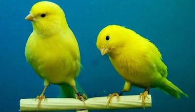 9 Perbedaan Akurat Burung Kenari Betina Dan Jantan Di Lihat Dari Ciri Fisiknya Paling Lengkap