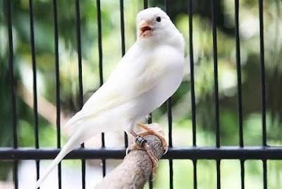 Kisaran List/Daftar Harga Terbaru Burung Kenari Lokal Saat Ini Di Tahun 2018 Paling Lengkap