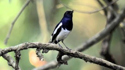 Mengenal Lebih Dekat Dan Ciri Ciri Fisik Burung Kacer Priangan/Poci Paling Lengkap